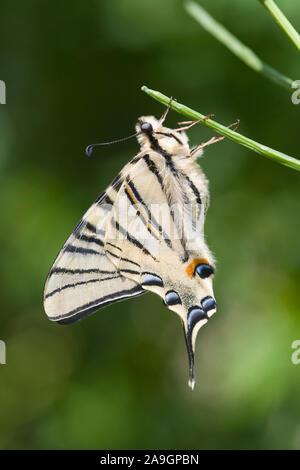 Segelfalter (Iphiclides podalirius) - Scarce Swallowtail (Iphiclides podalirius)