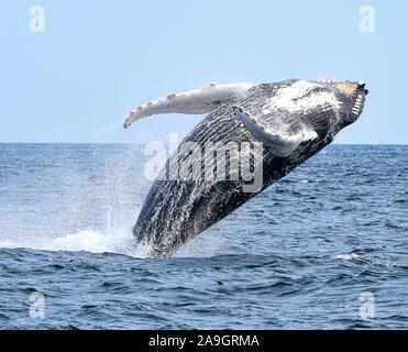 A humpback whale breaches with a twist as he begins his fall back to the ocean. (Megaptera novaeangliae)