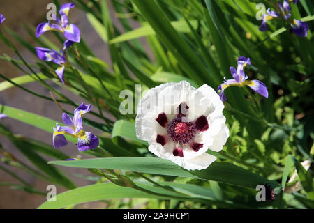 Flag Iris and a poppy, Fontaines Petrifiant Gardens, La Sône, France - Stock Photo