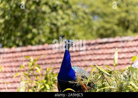 Peacock sitting on a roof and yelling - Stock Photo