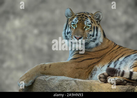 Portrait of Siberian tiger with blurry background - Stock Photo