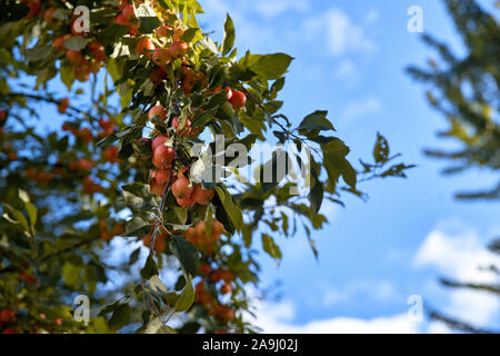 Red delicious apple with water drops. Shiny delicious apples hanging from a tree branch in an apple orchard. - Stock Photo