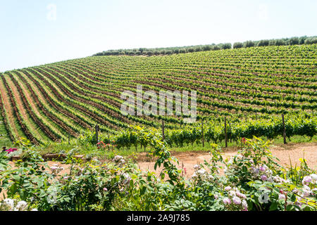 scenic view over a hillside covered in green leafy grapevines during Spring at a vineyard on a wine estate or winery in Stellenbosch, Cape Winelands - Stock Photo