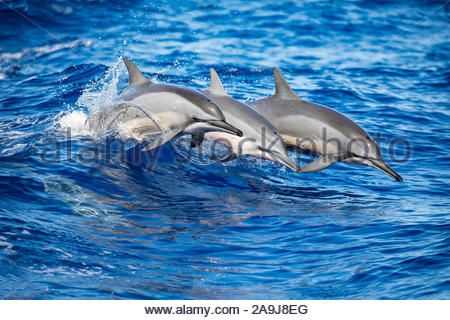 spinner dolphin, Stenella longirostris, leaping out off the island of Lanai, Hawaii, USA, Pacific Ocean - Stock Photo