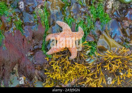 rockweed, Fucus species, winged kelp, Alaria marginata, sea lettuce, Ulva species, La Push Beach 3, Olympic National Park, Olympic Coast National Mari - Stock Photo