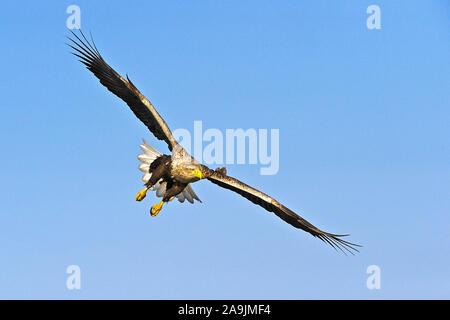 Seeadler / Haliaeetus albicilla / White-tailed Sea Eagle - Stock Photo