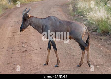 Common tsessebe ( Damaliscus lunatus lunatus) walking on the road, Pilanesberg National Park, South Africa. - Stock Photo