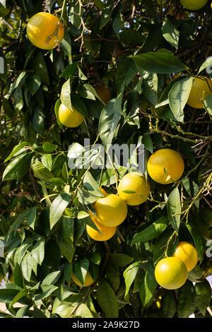 Citrus orange on tree in Cyprus number 3890 - Stock Photo