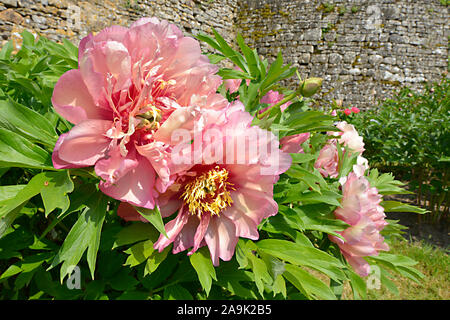 Closeup pink Chinese peonies flowers (Paeonia lactiflora) - Stock Photo