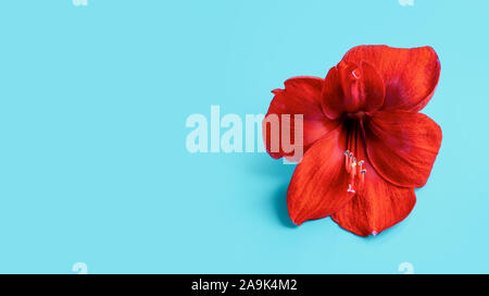 Red Amaryllis Flower on green blue background. Spa wellness template. - Stock Photo