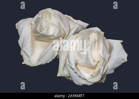 isolated aged white rose blossom pair macro,blue background, color fine art still life image of two blooms with detailed texture Stock Photo