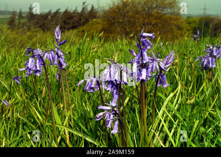 Hyacinthoides non-scripta (bluebell) found in European Atlantic areas from north-western Spain to the British Isles associated with ancient woodland. - Stock Photo