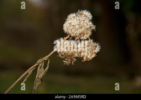 Close-up of a withered flower head of Ragwort, Senecio jacobaea - Stock Photo