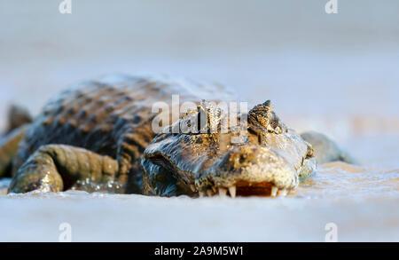 Close up of a Yacare caiman (Caiman yacare) in water, South Pantanal, Brazil. - Stock Photo