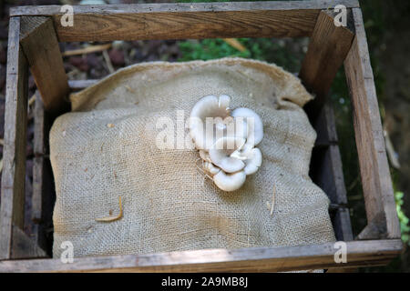 Mushrooms growing on sacking in a wooden box, Fontaines Petrifiant Gardens, La Sône, France - Stock Photo