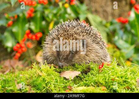 Hedgehog, (Scientific name: Erinaceus Europaeus) wild, native, European hedgehog with red holly berries in the background and green moss.  Facing left - Stock Photo