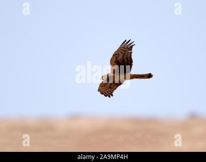 Northern Harrier in Flight - Stock Photo
