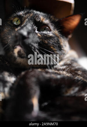 Cute tortoiseshell cat poses for a portrait - Stock Photo