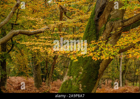 Autumn at Mark Ash Wood The New Forest Hampshire England - Stock Photo