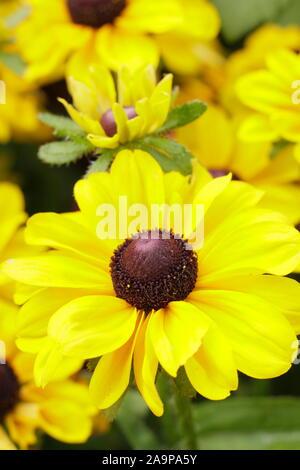 Rudbeckia hirta 'Toto Lemon' Gloriosa Daisy - Stock Photo