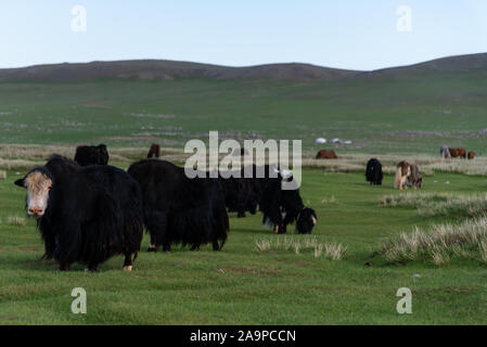 Free roaming Yak on a pasture in Arvaiheer, Mongolia - Stock Photo