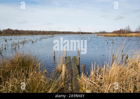 Stumps of dead trees at wetland nature reserve 'Mariapeel' with raised water level, nature being restored in the Netherlands - Stock Photo