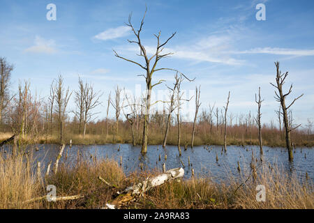 Dead tree trunks at wetland nature reserve 'Mariapeel' with raised water level, nature being restored in the Netherlands - Stock Photo
