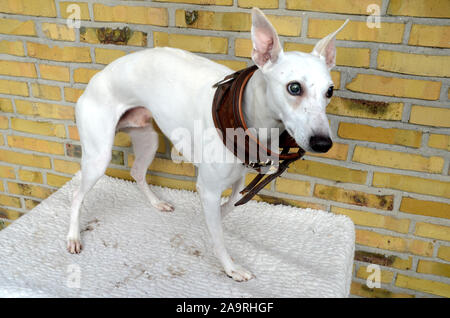 Wrong size collar - smalll white whippet with an oversize leather collar. - Stock Photo