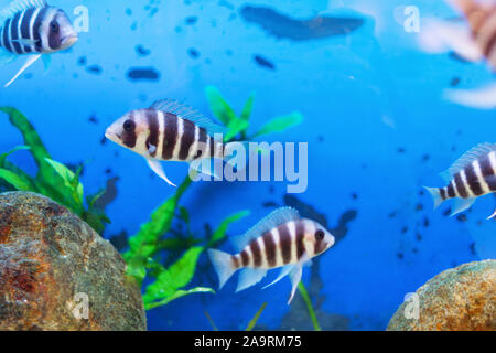 Beautiful underwater world with tropical fish. Fish swimming in clear blue water with air bubbles.