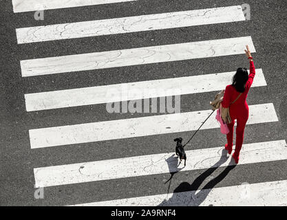 Woman in red walking small dog crossing road on pedestrian crossing. - Stock Photo