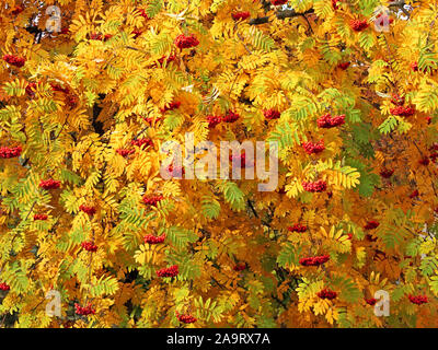 Red bunches of mountain ash (Sorbus aucuparia) hanging on the branches among the thick bright green, yellow and orange autumn leaves in a sunny Octobe - Stock Photo