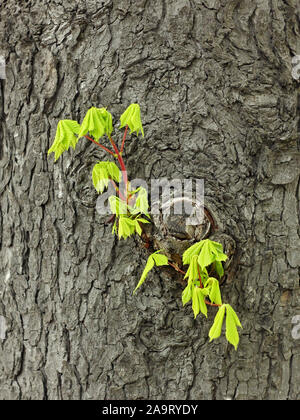 Fragile young twig of scattered, chestnut with green leaves grows on the old trunk in springtime - Stock Photo