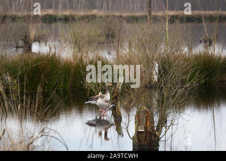 Grey lag geese at a fen at nature reserve 'Mariapeel', de Peel, province Noord-Limburg, the Netherlands - Stock Photo