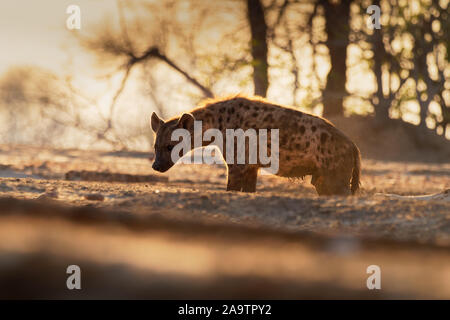 Spotted Hyena - Crocuta crocuta after meals walking in the park. Beautiful sunset in Mana Pools. Zimbabwe, looks like from the hell. - Stock Photo