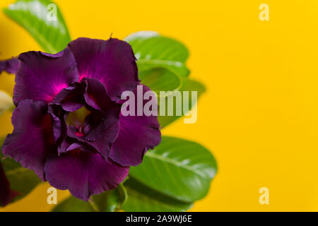 Dark violet flower rose or adenium on yellow background with copy space - Stock Photo