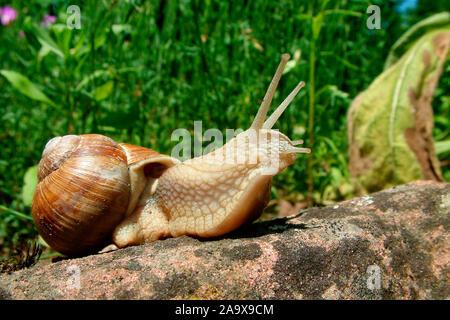Weinbergschnecke auf Sandstein - Helix pomatia - Stock Photo