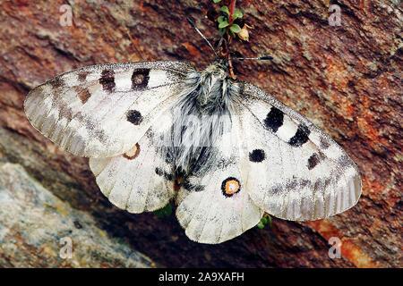 Apollofalter (Parnassius apollo) - Stock Photo