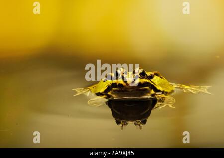 Edible Frog (Pelophylax kl. esculentus) - Stock Photo