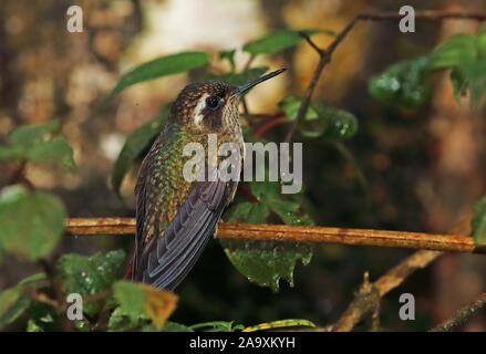 Speckled Hummingbird (Adelomyia melanogenys maculata) adult perched on twig Tapichalaca Reserve, Zamora-chinchipe, Ecuador         February - Stock Photo