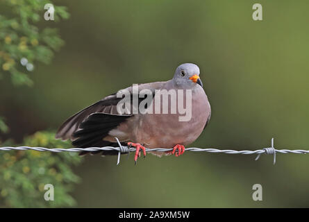 Croaking Ground-dove (Columbina cruziana) adult male perched on barbed wire fence, wing stretching Loja, Ecuador                        February - Stock Photo