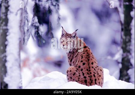 Luchs im Winterwald; Lynx in winter forest; Lynx lynx; Bayerischer Wald, Deutschland - Stock Photo