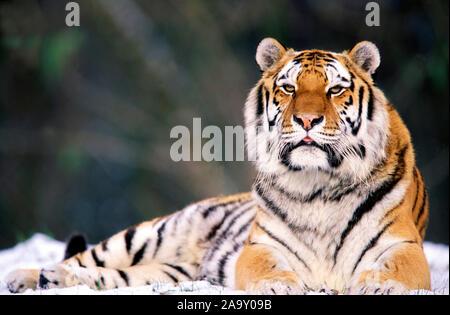 Sibirischer Tiger hält Ausschau; Sibirian Tiger looking out; Panthera tigris altaica; München, Deutschland