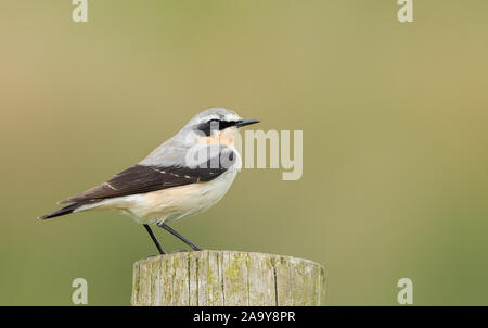 A male Wheatear (Oenanthe oenanthe) in breeding plumage, perched on a fence post - Stock Photo