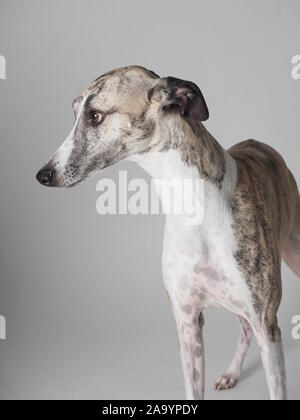 Portrait Whippet adult purebred dog tabby and white - Stock Photo