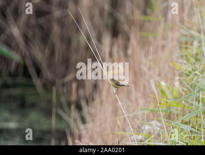 Chiff-chaff (Phylloscopus collybita) on a reed stem - Stock Photo