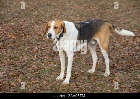 Cute russian hound is standing on a orange foliage in the autumn park. Pet animals. Purebred dog. - Stock Photo