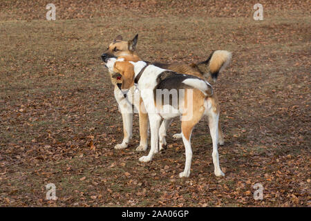 Cute multibred dog and russian hound is playing in the autumn park. Hope for life. - Stock Photo
