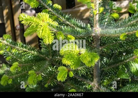 Young twigs of Abies nordmanniana (Nordmann fir) in spring - Stock Photo