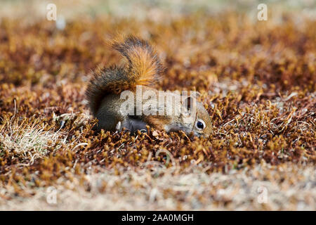 Red Squirrel (Tamiasciurus hudsonicus) foraging for seed fallen from a bird feeder Cherry Hill, Nova Scotia, , - Stock Photo
