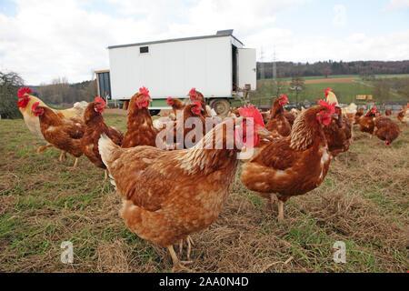 Hühner in Freilandhaltung mit Auslauf auf einer Wiese. Im Hintergrund steht ein mobiles Hühnerhaus.